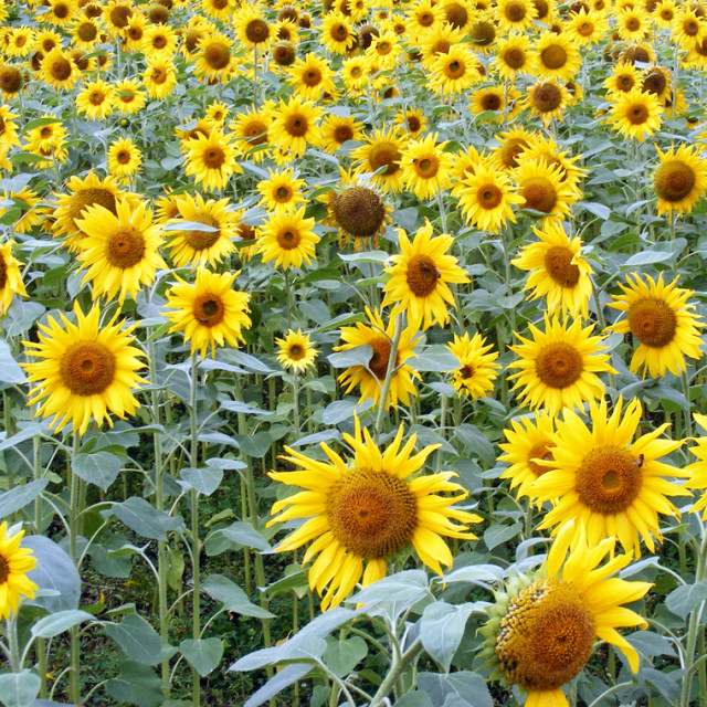"""Sunflowers of Eden"" stock image"