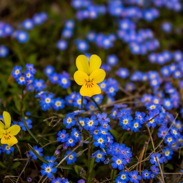 """Bulgarian macro flowers"" stock image"