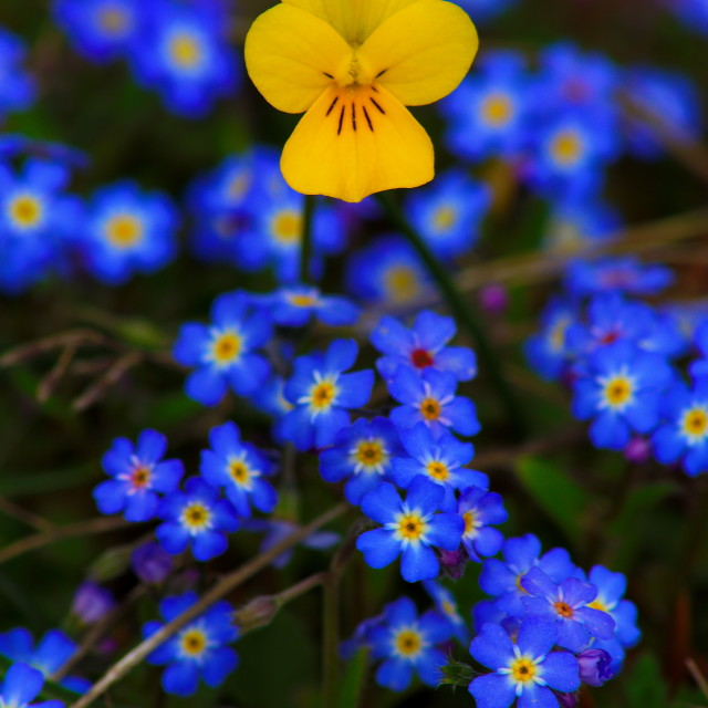 """Bulgarian flowers"" stock image"