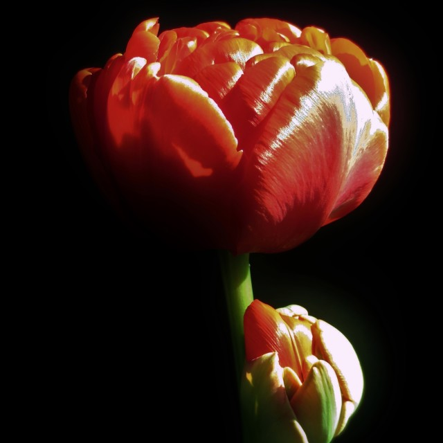 """Tulip flower"" stock image"