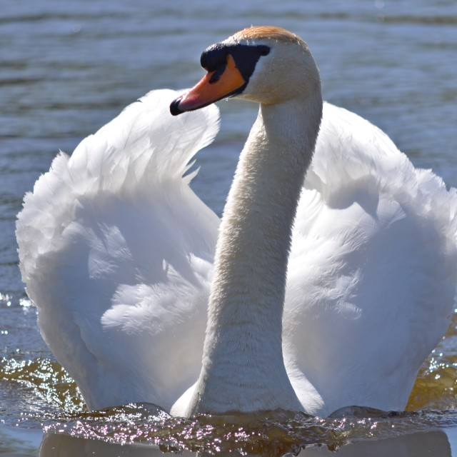 """Majestic swan"" stock image"