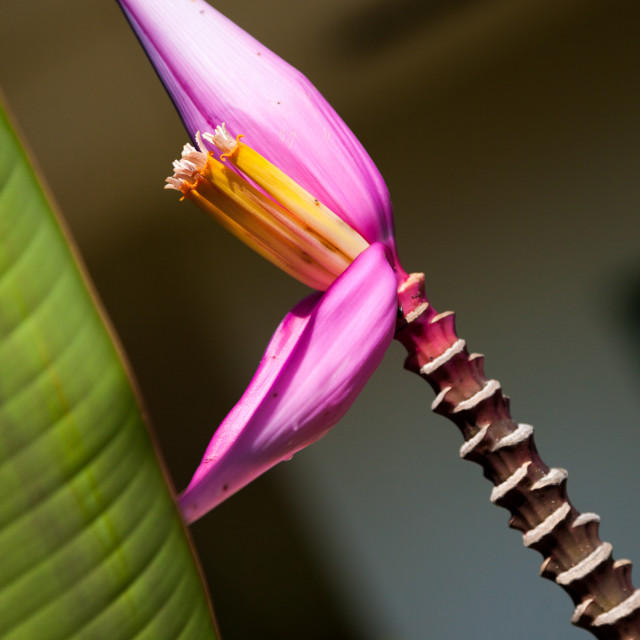 """Banana flower plant"" stock image"