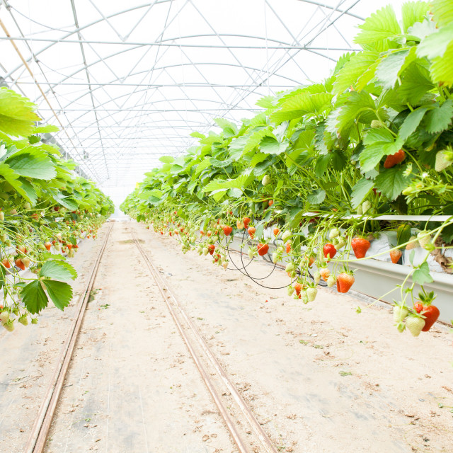 """""""culture in a greenhouse strawberry and strawberries"""" stock image"""