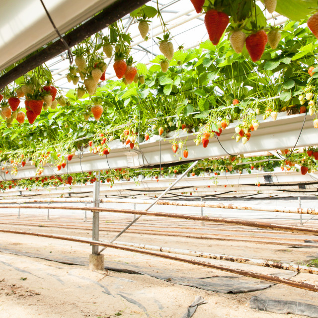 """culture in a greenhouse strawberry and strawberries"" stock image"