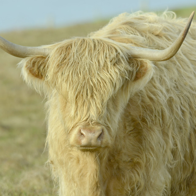 """Highland Cow"" stock image"