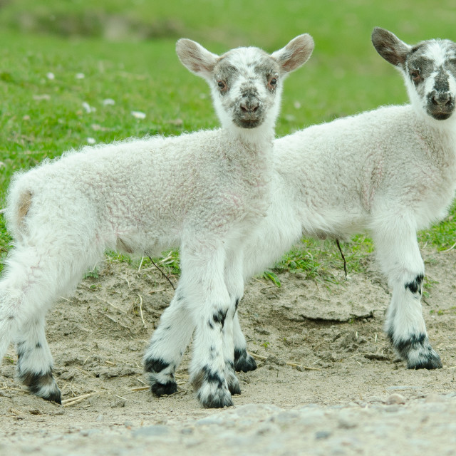 """Spring lambs"" stock image"