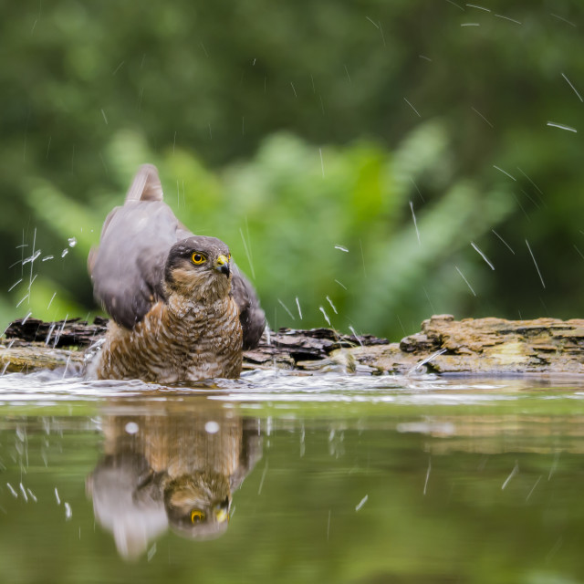 """Sparrow Hawk Bathe"" stock image"