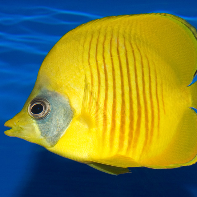 """""""Addis Butterfly Fish"""" stock image"""