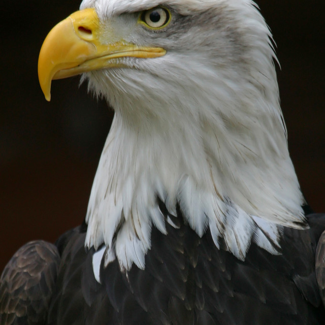 """""""Closeup of a Bald Eagle"""" stock image"""