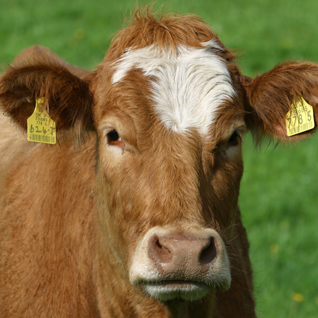 """Closeup of a Brown Cow"" stock image"