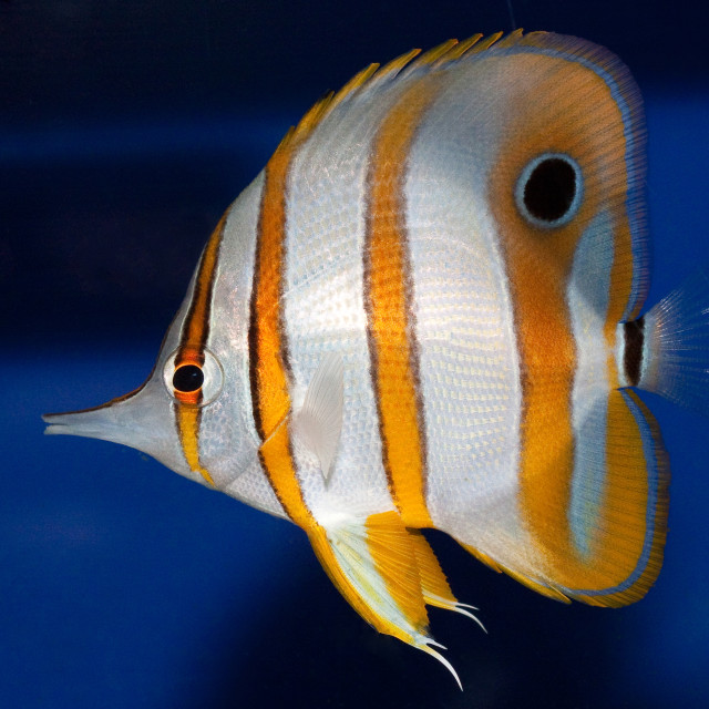 """""""Copperband Butterfly Fish"""" stock image"""