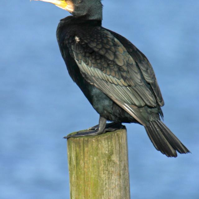 """Cormorant on Post"" stock image"