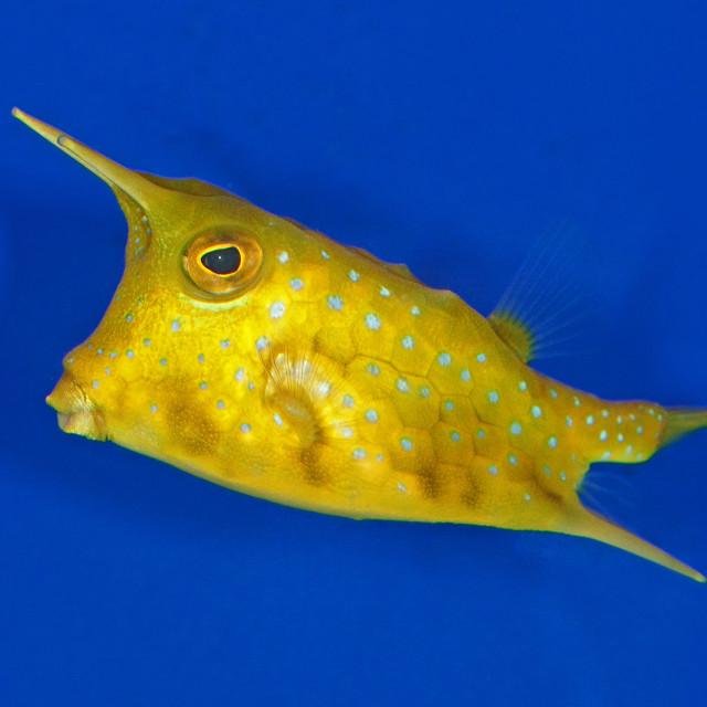 """Cow Fish"" stock image"