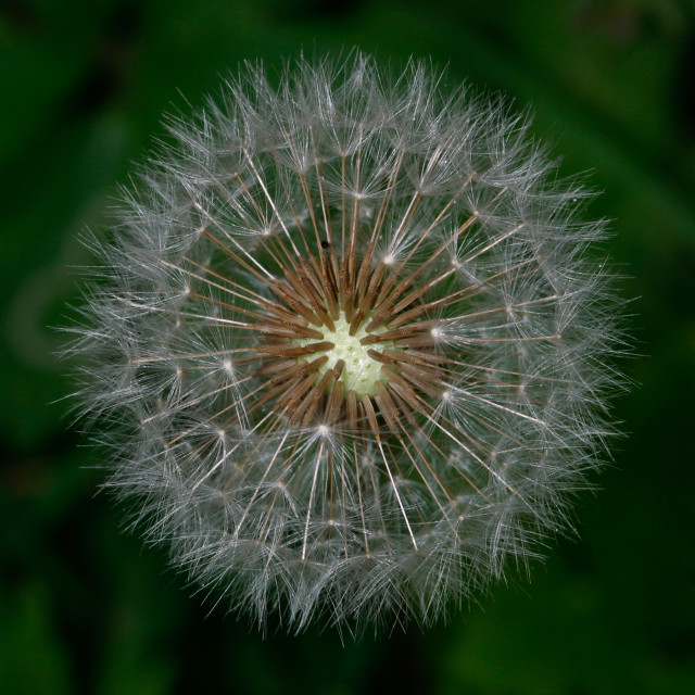 """Dandelion Head in Seed"" stock image"