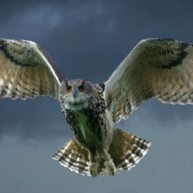 """Eagle Owl in Flight"" stock image"