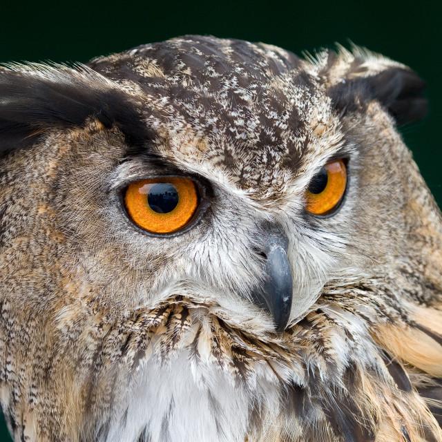 """Eurasian Eagle Owl"" stock image"