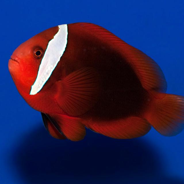 """""""Fire Clownfish"""" stock image"""