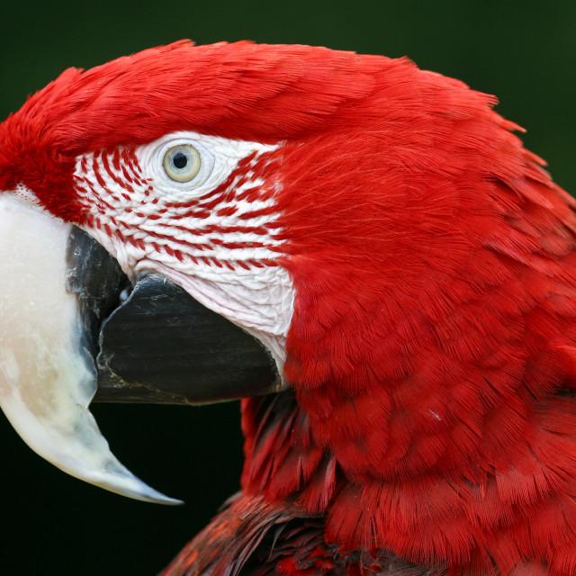 """Green-winged Macaw Closeup"" stock image"