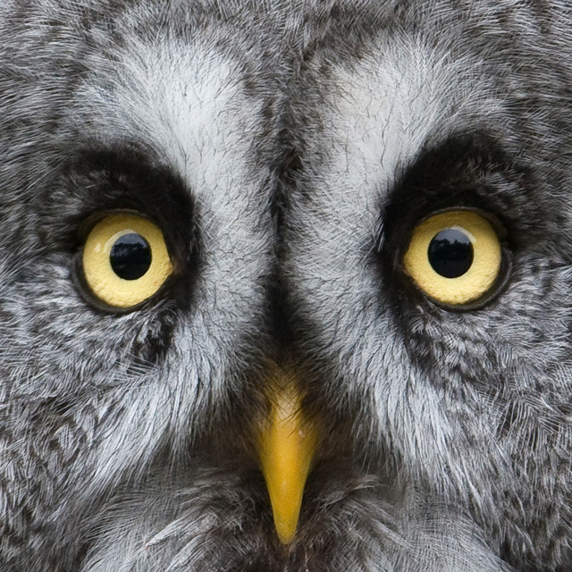 """Grey Owl Extreme Closeup"" stock image"