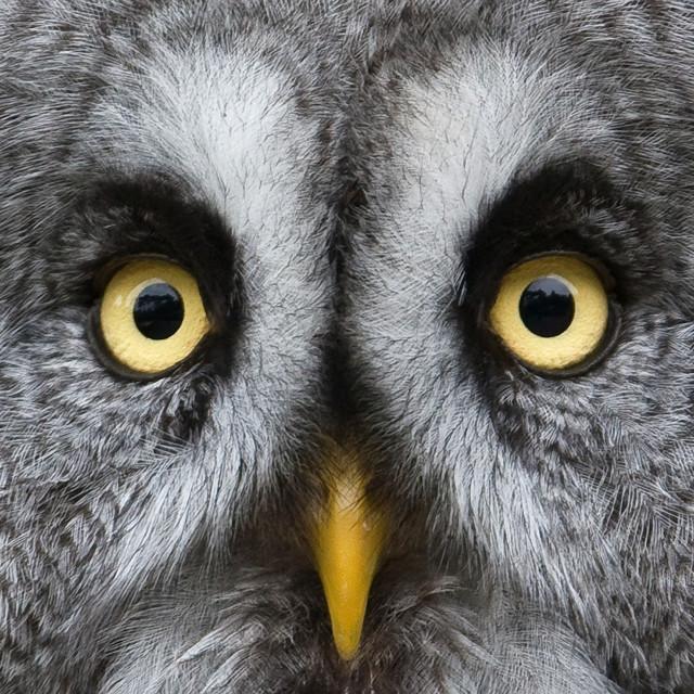 """""""Grey Owl Extreme Closeup"""" stock image"""