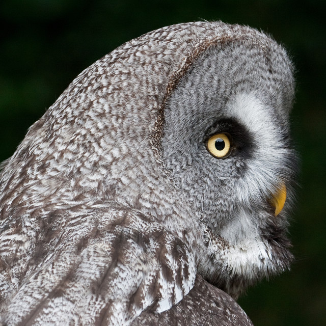 """""""Great Grey Owl Side On"""" stock image"""