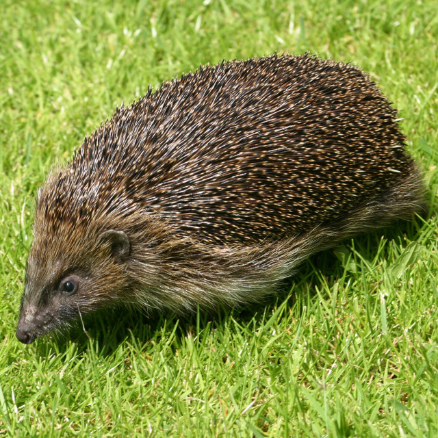 """""""Hedgehog in the Grass"""" stock image"""