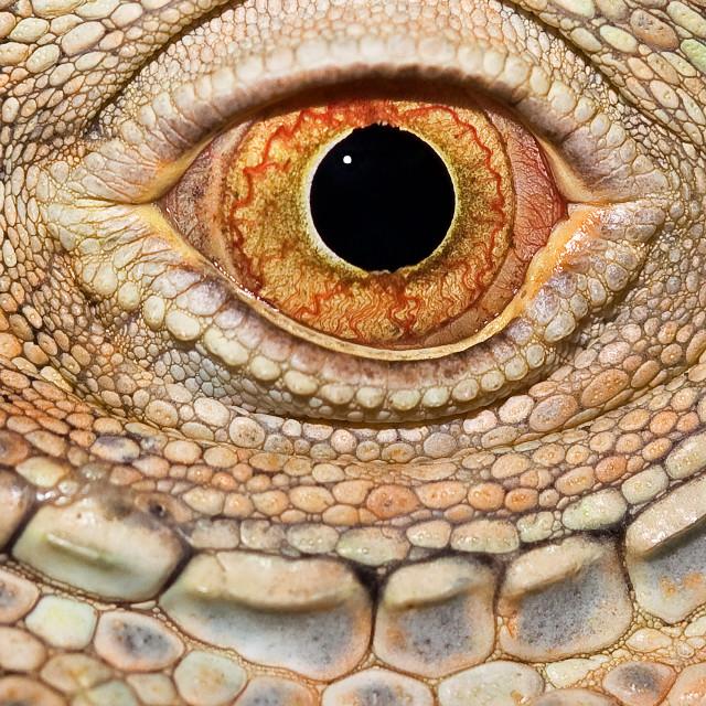 """""""Iguana Eye"""" stock image"""
