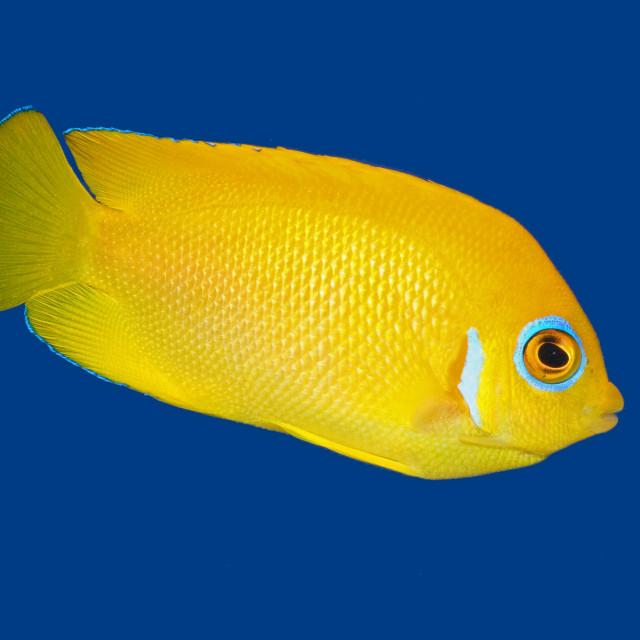 """""""Lemonpeel Angelfish"""" stock image"""