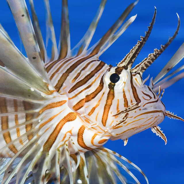 """Lionfish Extreme Closeup"" stock image"