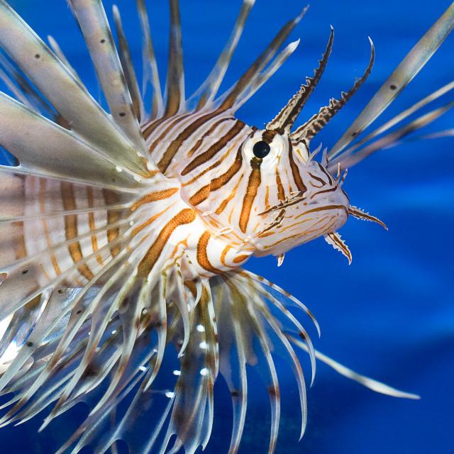 """""""Closeup of a Lionfish"""" stock image"""