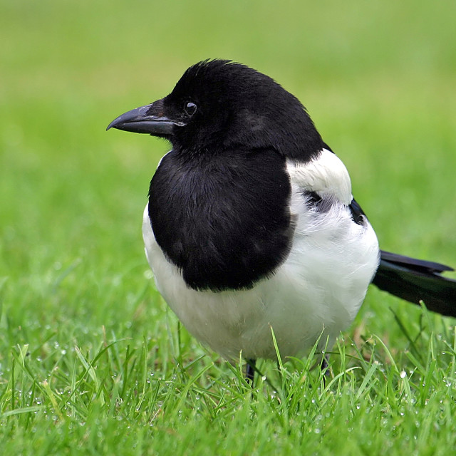 """""""Magpie in the Grass"""" stock image"""