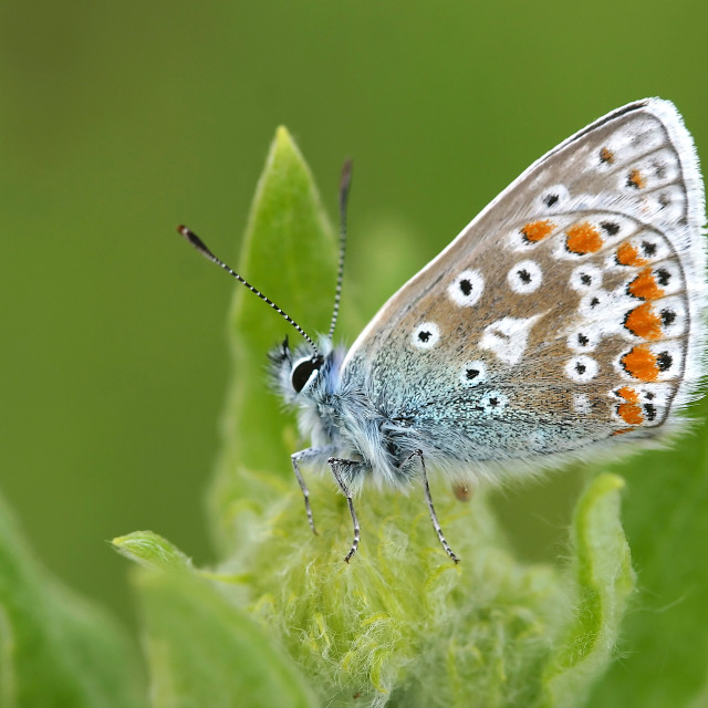"""Male Common Blue Butterfly"" stock image"
