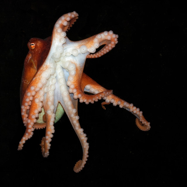 """Octopus Swimming 1"" stock image"