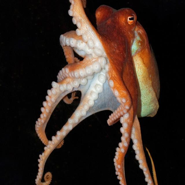 """Octopus Swimming 2"" stock image"