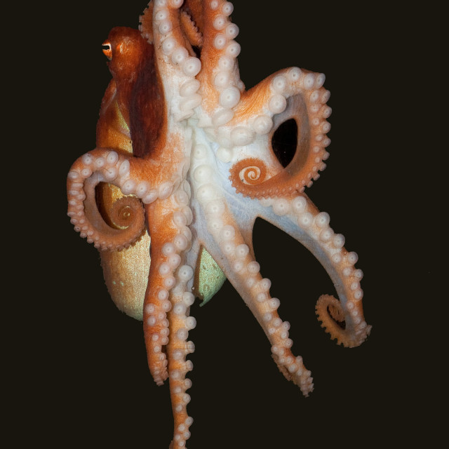 """Octopus Swimming 3"" stock image"