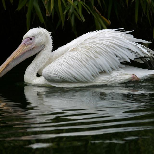 """Pelican Swimming"" stock image"