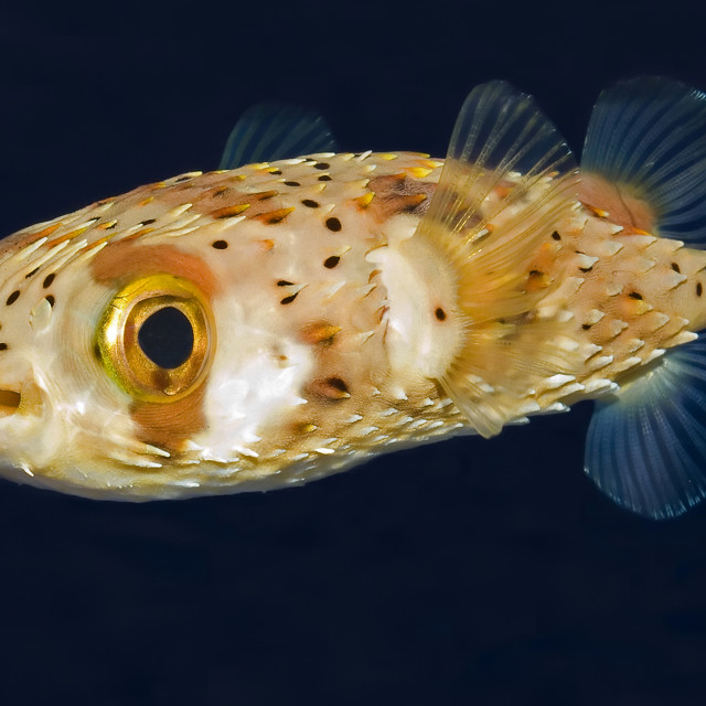"""Porcupine Puffer Fish"" stock image"