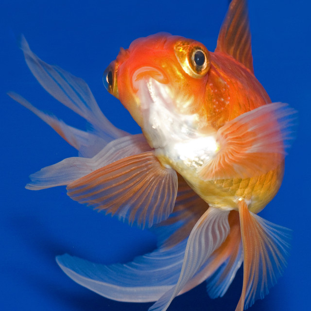 """Red Oranda Goldfish"" stock image"
