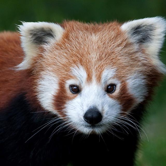 """""""Red Panda Closeup"""" stock image"""