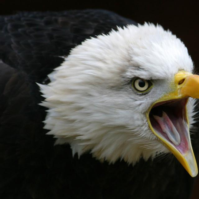 """Screeching Bald Eagle Closeup"" stock image"