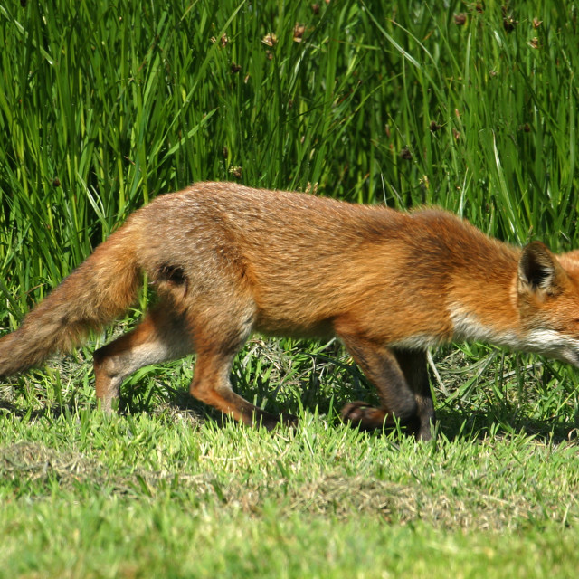 """Slinking Fox"" stock image"