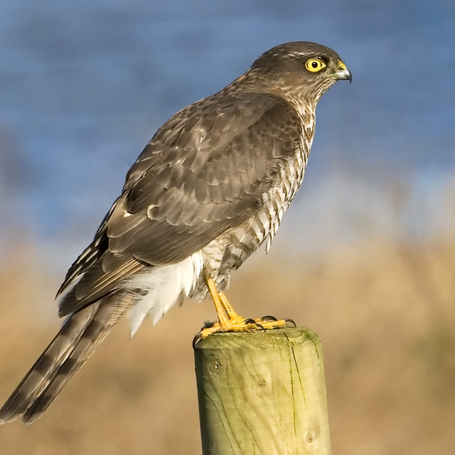 """Sparrowhawk on Wooden Post"" stock image"