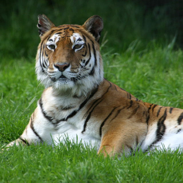 """""""Tiger Resting in the Grass"""" stock image"""