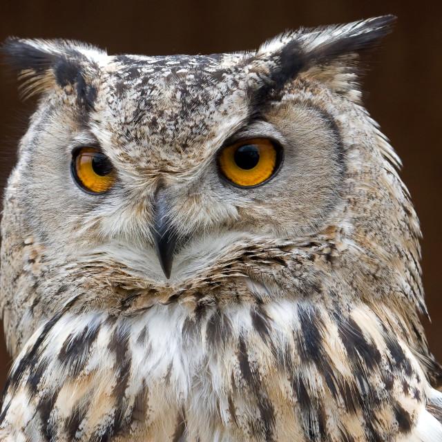 """Turkmenian Eagle Owl Closeup"" stock image"