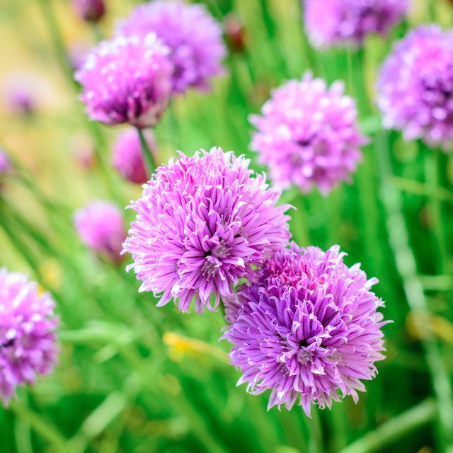 """Chive flowers"" stock image"