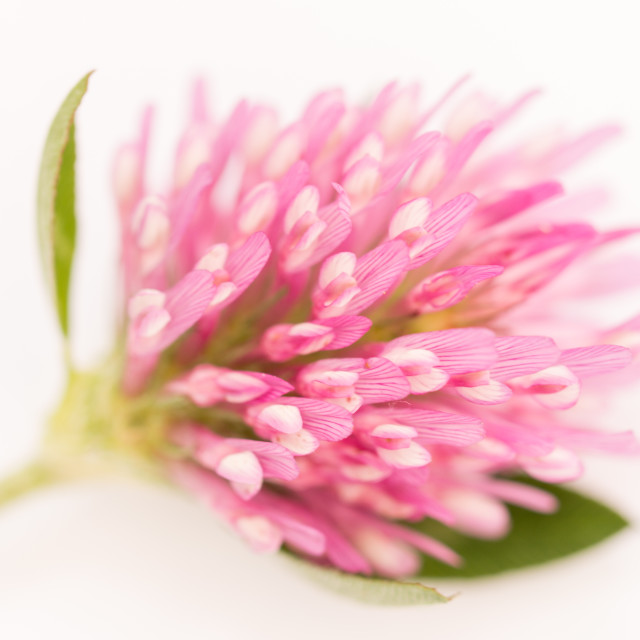 """""""Red Clover"""" stock image"""