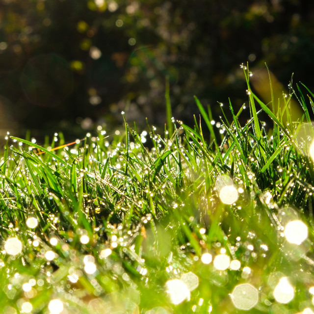 """Morning Dew on Grass"" stock image"