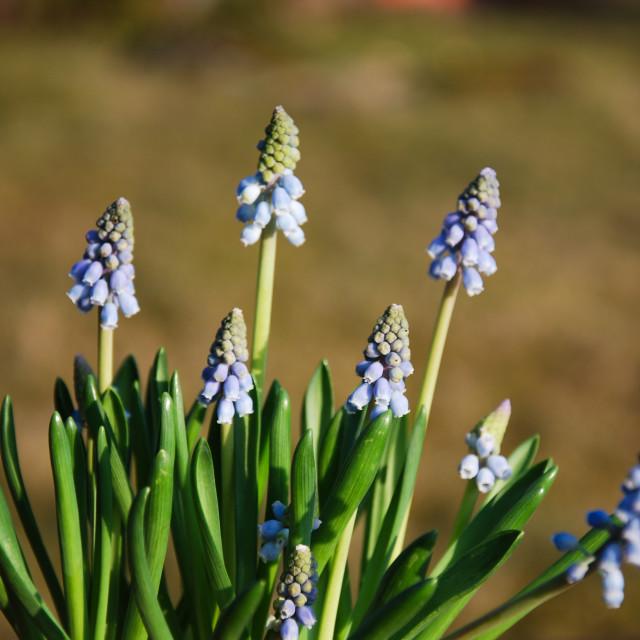"""Group of grape hyacinths"" stock image"