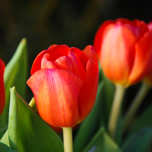 """""""Red tulips close up"""" stock image"""