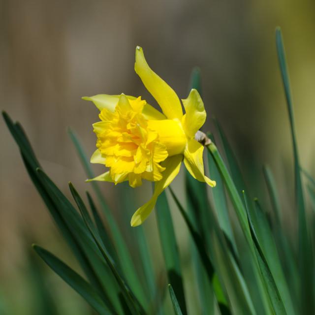 """""""Daffodil closeup"""" stock image"""